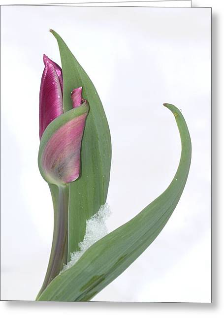 Tulip With Droplets Greeting Cards - Tulip in the Snow Greeting Card by  Andrea Lazar