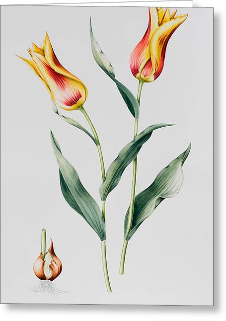 Yellow Leaves Greeting Cards - Tulip Mona Lisa Greeting Card by Sally Crosthwaite