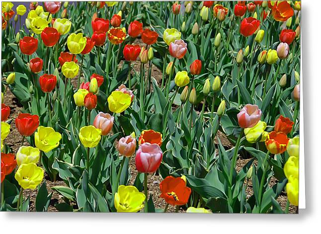 Pretty Flowers Greeting Cards - Tulip Patch Greeting Card by Aimee L Maher Photography and Art