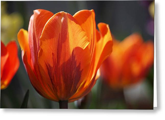 Blooms Greeting Cards - Tulip Prinses Irene Greeting Card by Rona Black