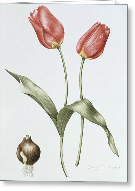Tulip Red Darwin Greeting Card by Sally Crosthwaite