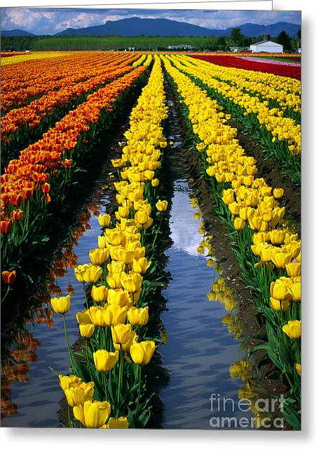 Mount Vernon Greeting Cards - Tulip Reflections Greeting Card by Inge Johnsson