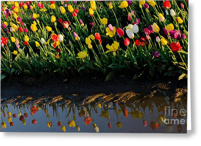 Mud Season Greeting Cards - Tulip Reflections Greeting Card by Nick  Boren