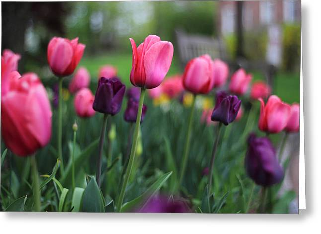 Jessica Photographs Greeting Cards - Tulip Time Greeting Card by Jessica Jenney