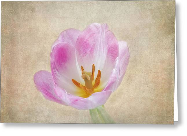 Mother Gift Greeting Cards - Tulip Time Greeting Card by Kim Hojnacki