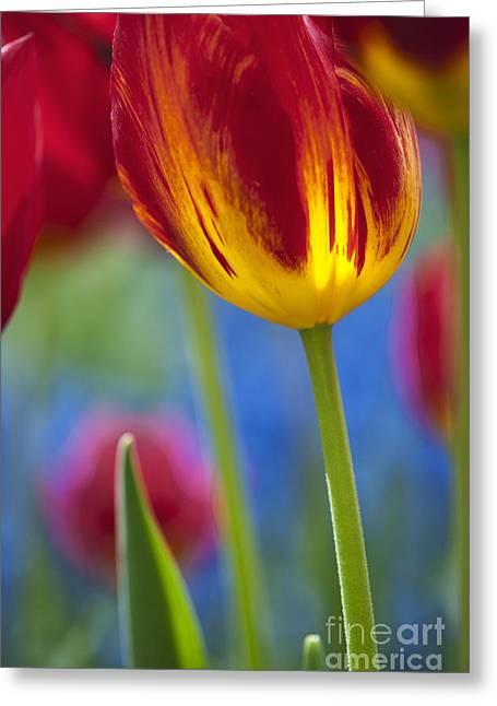 Abstract Tulips Greeting Cards - Tulip Triumph Yomako Abstract Greeting Card by Tim Gainey