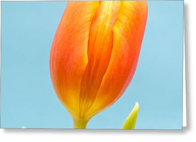 Tulip Greeting Card by Wim Lanclus