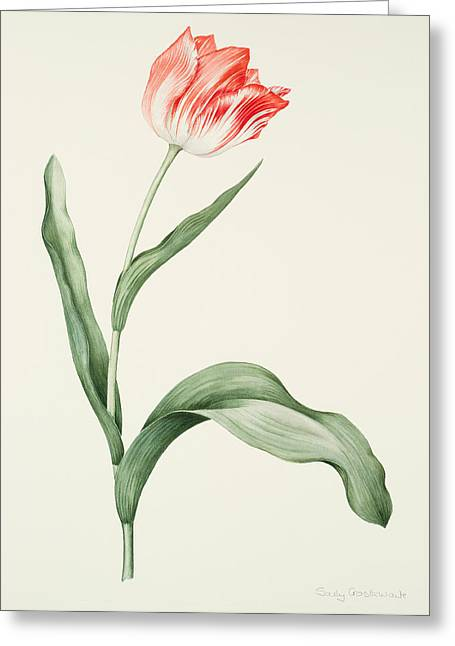 Flower Still Life Prints Greeting Cards - Tulip zoomerschoon Greeting Card by Sally Crosthwaite
