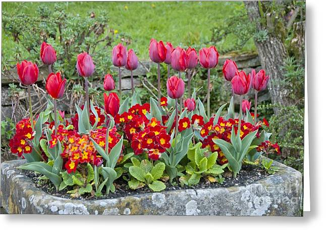 Tulipa 'couleur Cardinal' And Primula Sp Greeting Card by Carol Casselden
