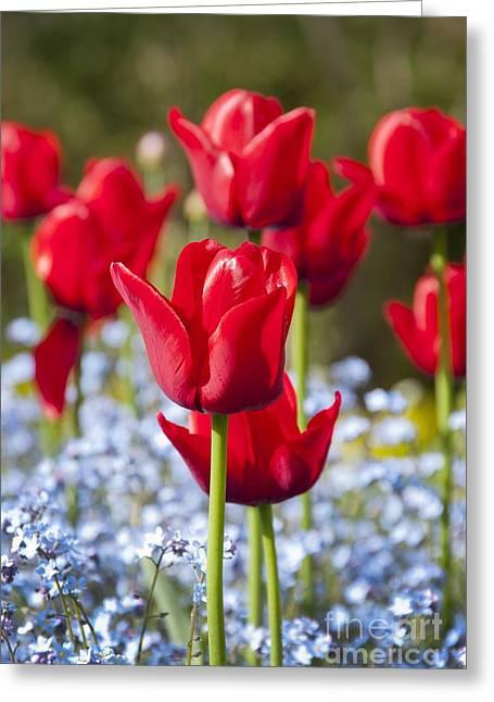 Spring Bulbs Greeting Cards - Tulipa ile De France And Myosotis Sp Greeting Card by Carol Casselden