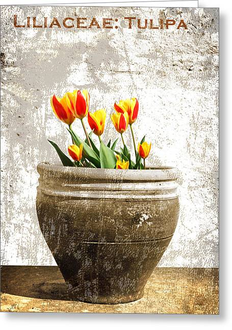 Vintage Tulip Greeting Cards - Tulipa Greeting Card by Mark Rogan