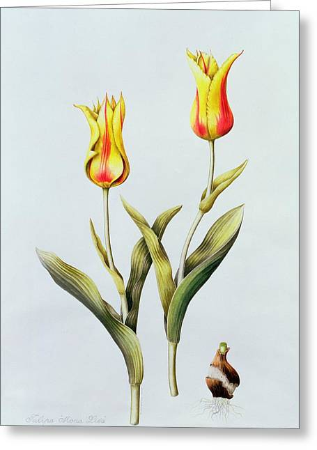 Flowered Greeting Cards - Tulipa Mona Lisa Greeting Card by Sally Crosthwaite