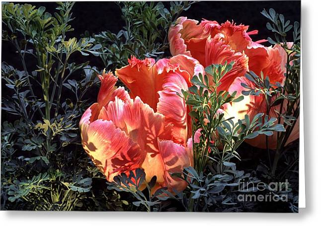 Apricot Greeting Cards - Tulipa Sp. And Ruta Sp Greeting Card by Archie Young