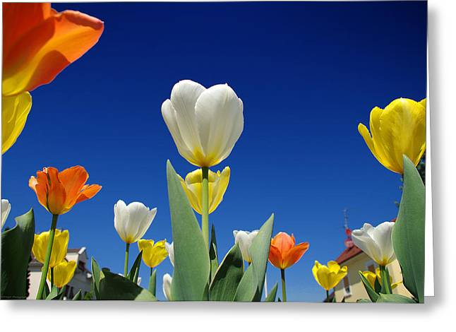 Haut-rhin Greeting Cards - Tuliplands next topmodel Greeting Card by Philippe Meisburger