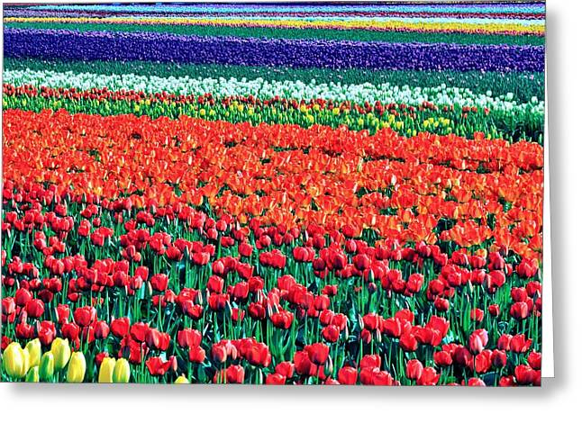 Tulipomania Greeting Card by Benjamin Yeager
