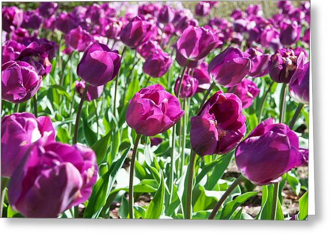 Garden Scene Greeting Cards - Tulips At Sherwood Gardens, Baltimore Greeting Card by Panoramic Images