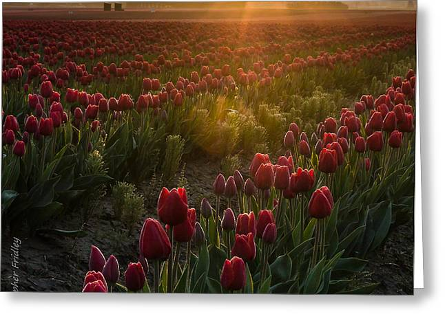Christopher Fridley Greeting Cards - Tulips at Sunrise Greeting Card by Christopher Fridley