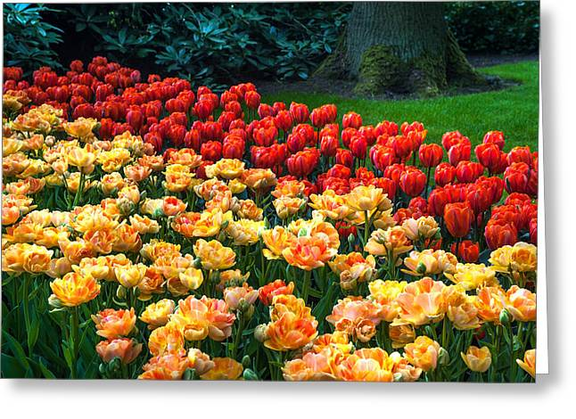 Crazing Greeting Cards - Tulips Display in the Keukenhof Garden. Netherlands Greeting Card by Jenny Rainbow