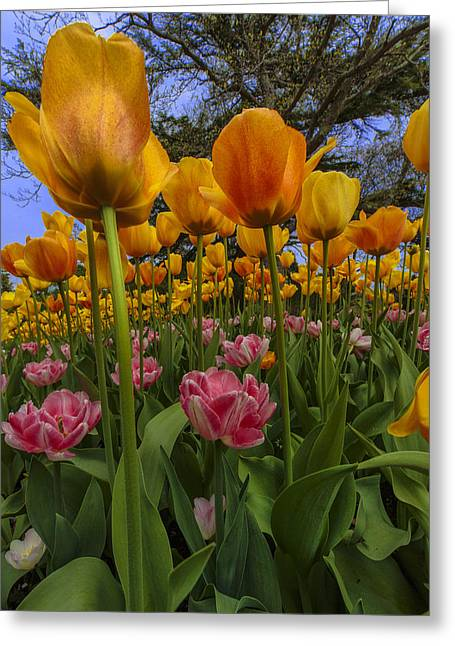 Suffolk Greeting Cards - Tulips Everywhere Greeting Card by Rick Berk