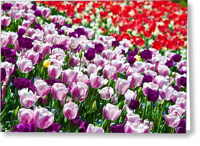Growing Greeting Cards - Tulips Field Greeting Card by Sebastian Musial