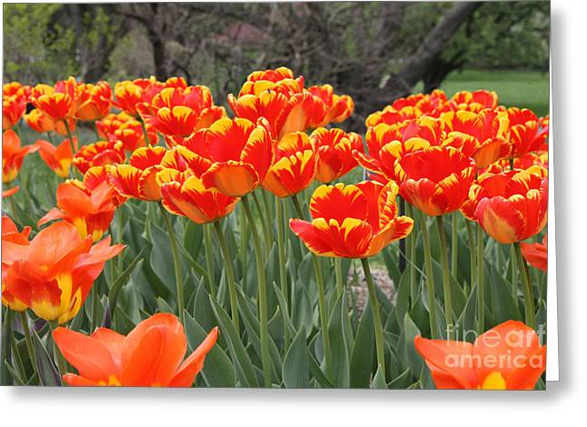 Green And Yellow Greeting Cards - Tulips from Brooklyn Greeting Card by John Telfer