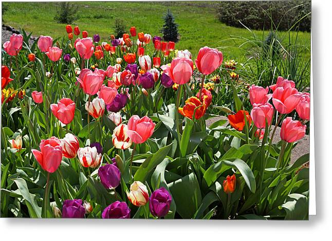 Popular Flower Art Greeting Cards - TULIPS Garden Art Prints Colorful Spring Floral Greeting Card by Baslee Troutman