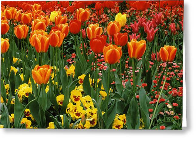 In-city Greeting Cards - Tulips In A Field, St. Jamess Park Greeting Card by Panoramic Images