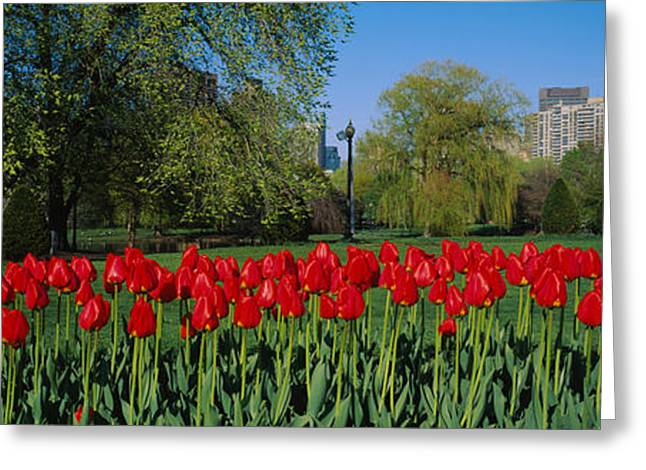 Tulips In A Garden, Boston Public Greeting Card by Panoramic Images