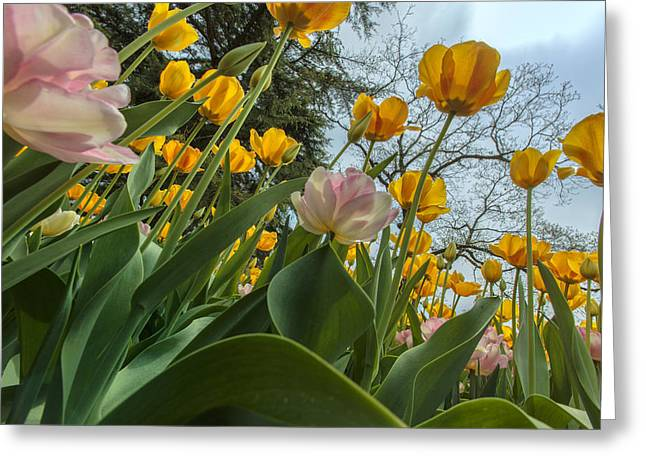 Tulips In Bloom Greeting Card by Rick Berk