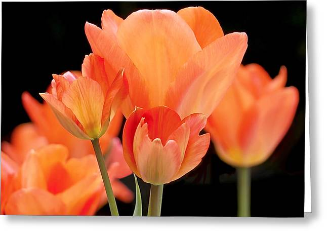 Tulips Greeting Cards - Tulips in Shades of Orange Greeting Card by Rona Black