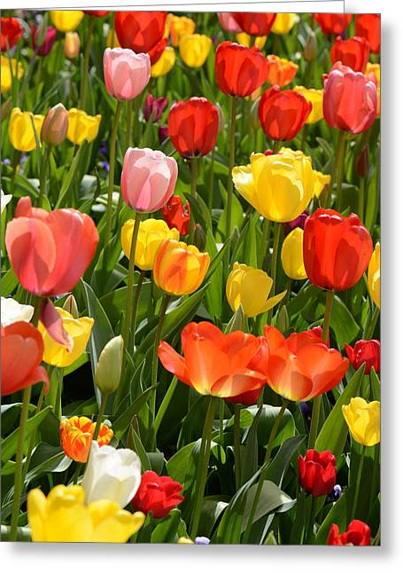 Tulips In The Garden Greeting Card by Brandon Bourdages