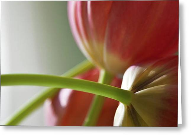 Blooms Greeting Cards - Tulips In The Morning Greeting Card by Theresa Tahara