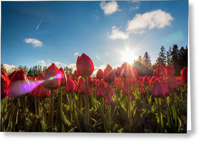 Sun Spots Greeting Cards - Tulips Kissed By The Sun Greeting Card by Matt Dobson