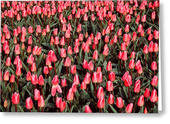 Multitude Greeting Cards - Tulips, Noordbeemster, Netherlands Greeting Card by Panoramic Images