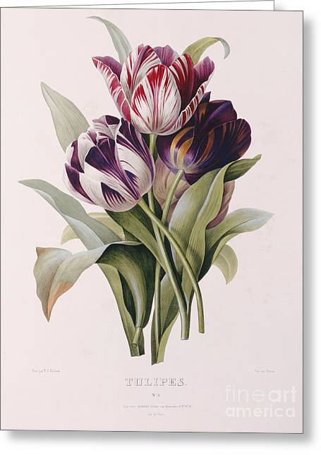 Flora Greeting Cards - Tulips Greeting Card by Pierre Joseph Redoute