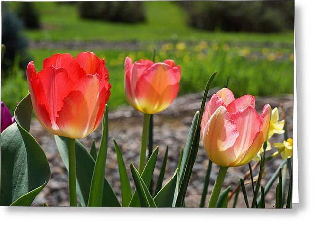 Popular Flower Art Greeting Cards - Tulips Red Pink Tulip Flowers Art Prints Greeting Card by Baslee Troutman