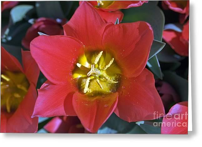 Spring Bulbs Greeting Cards - Tulips (tulipa sonbrero) Greeting Card by Dr Keith Wheeler