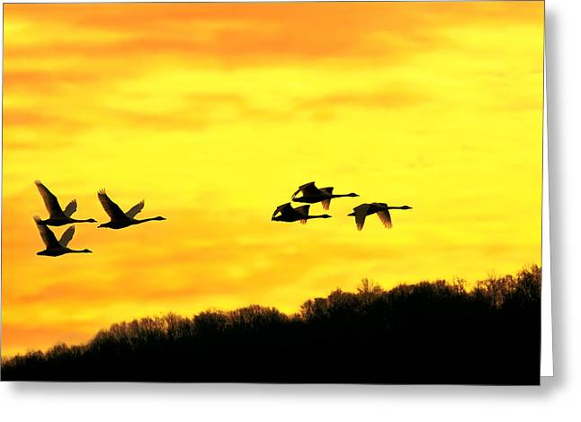 Winter Migrants Greeting Cards - Tundra Swans at Sunrise Greeting Card by Delmas Lehman