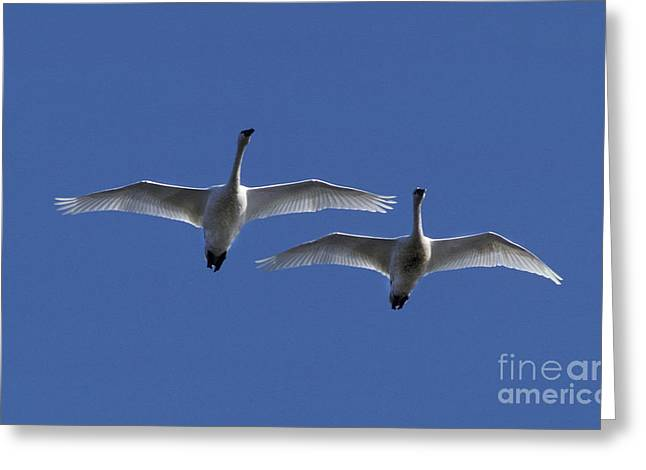 Water Fowl Greeting Cards - Tundra Swans Cygnus Columbianus Greeting Card by Ron Sanford