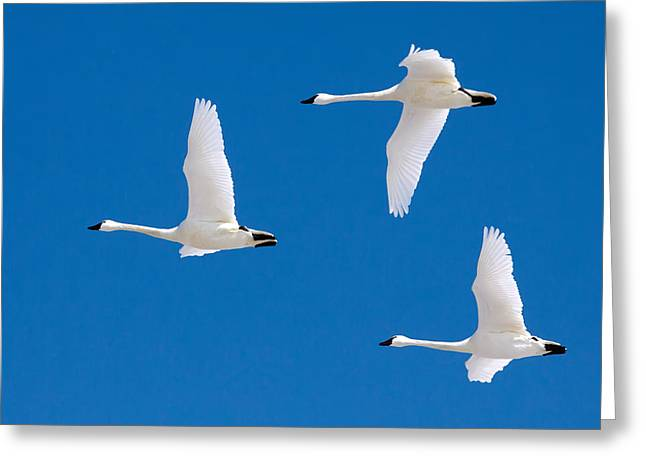 Swans... Greeting Cards - Tundra Swans in Flight Greeting Card by Delmas Lehman