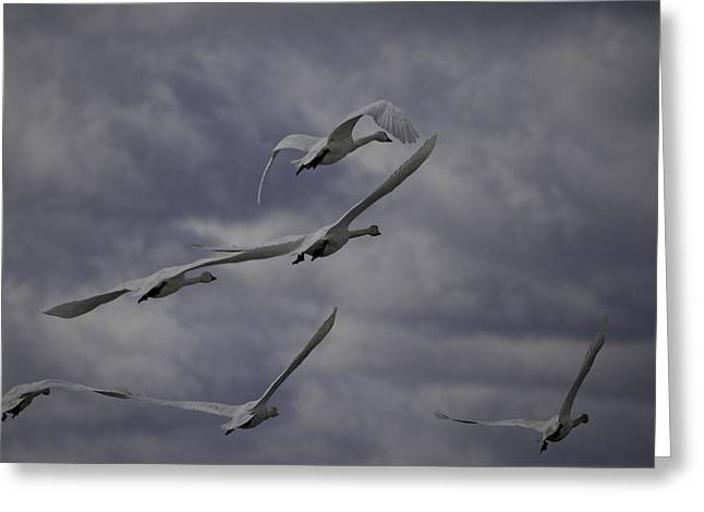Tundra Swans Taking Flight 1 Greeting Card by Thomas Young