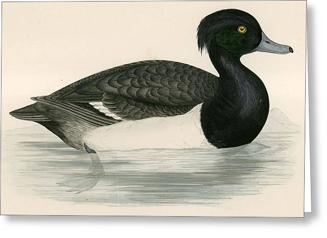 Hunting Bird Greeting Cards - Tupted Duck Greeting Card by Beverley R. Morris