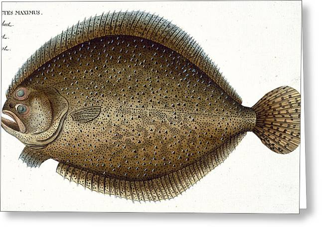 Flatfish Greeting Cards - Turbot Plate Xlix From Ichthyologie, Ou Greeting Card by Andreas-Ludwig Kruger