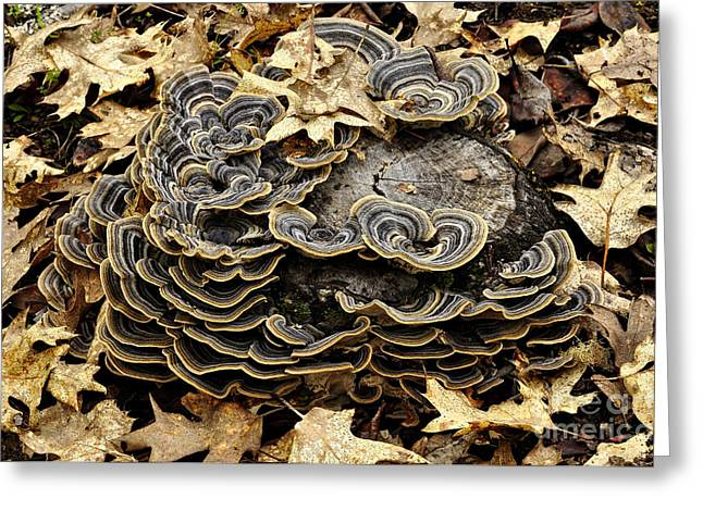 Versicolor Greeting Cards - Turkey Tail Fungi Greeting Card by Robert and Jean Pollock