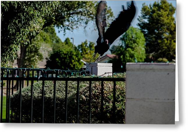 Turkey Vulture 5 Greeting Card by Steve Knievel