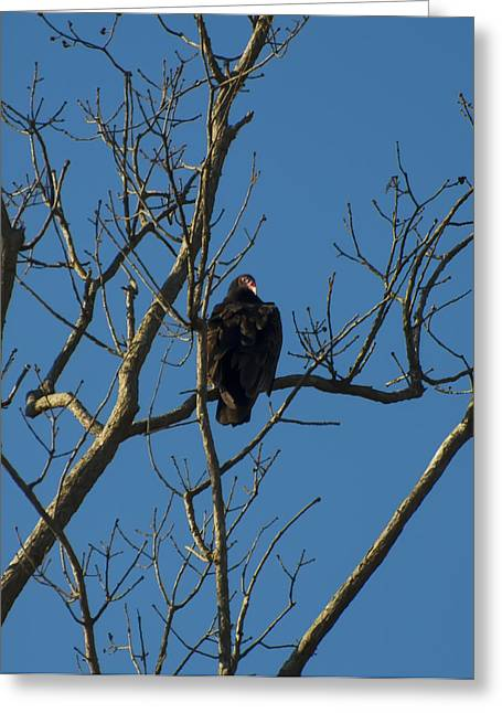Birds Of Prey Print Greeting Cards - Turkey Vulture In A Tree Greeting Card by Chris Flees
