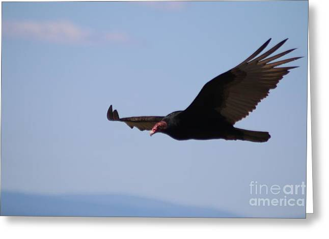 Birds Greeting Cards - Turkey Vulture In Flight Greeting Card by Mrsroadrunner Photography