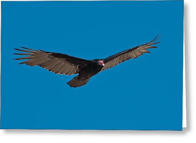 Turkey Buzzard Greeting Cards - Turkey Vulture Greeting Card by Rich Leighton