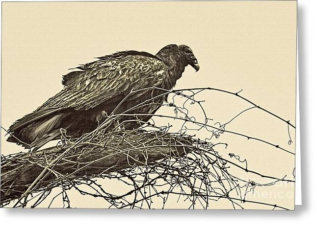 Turkey Buzzard Greeting Cards - Turkey Vulture V2 Greeting Card by Douglas Barnard