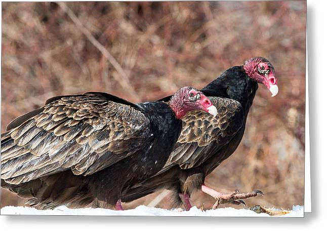 Vulture Greeting Cards - Turkey Vultures Greeting Card by Bill  Wakeley